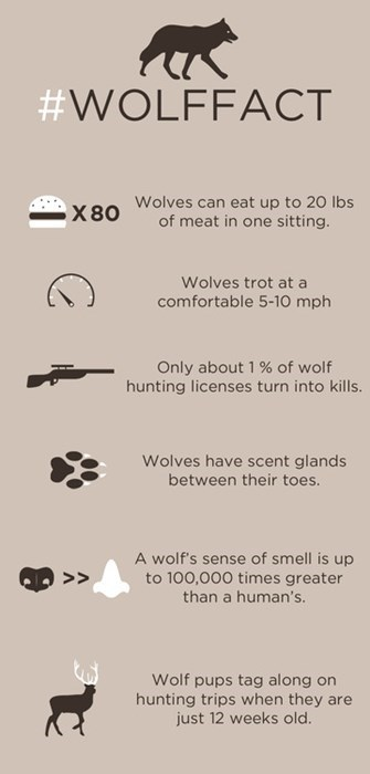 wolves awesome science animals fun facts - 8037914624