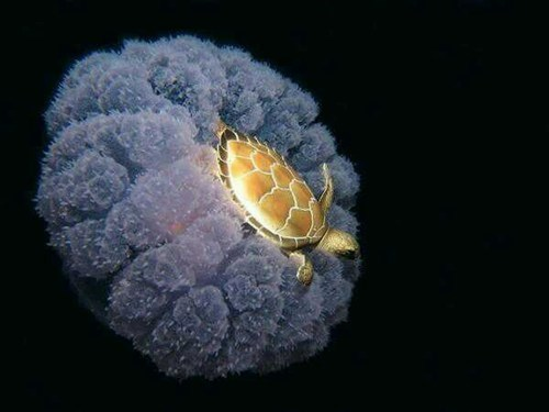 Turtle riding a jellyfish