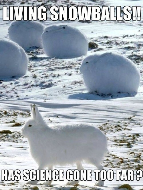 snow science rabbits - 8040438784