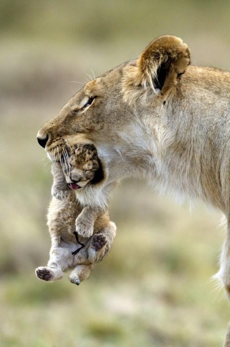 lions,Babies,mama,cute