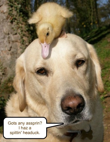 ducks,dogs,ducklings,puns,headaches