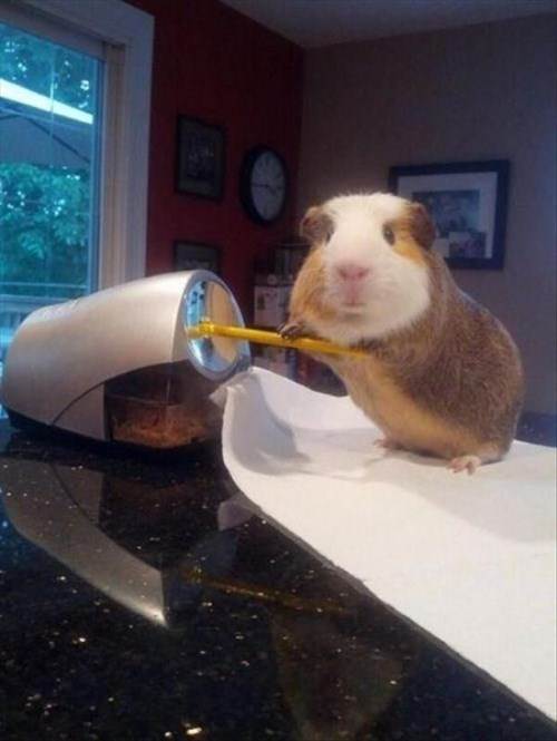 assistant guinea pigs cute Office - 8043290880