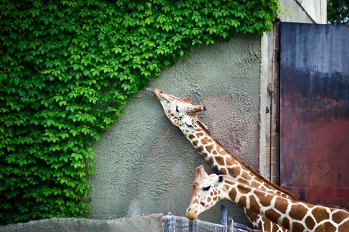 cute,Reach,food,giraffes