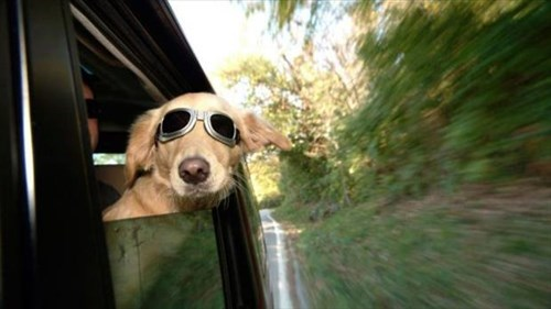 dogs shades windows funny - 8052291584