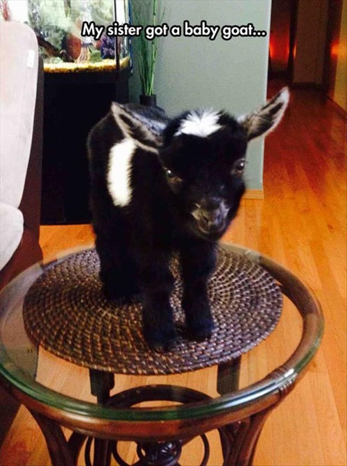 coffee table cute baby goats kids goats - 8053951744