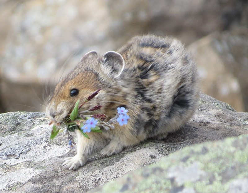 alpine pika cute flowers pika - 8055045
