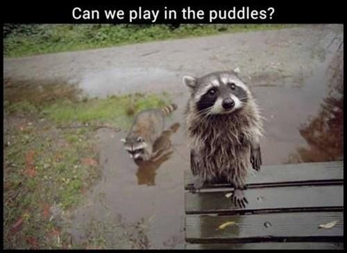 Babies cute raccoons rain - 8058281728