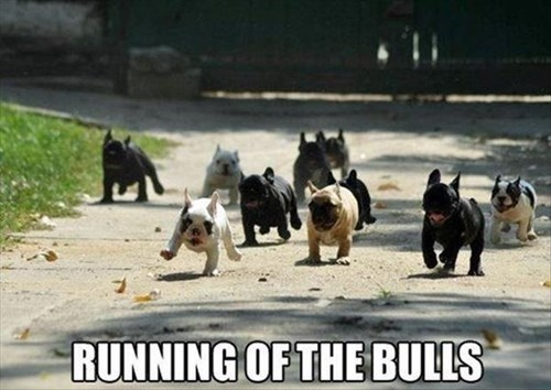 running of the bulls,puppies,puns,cute,bulldogs