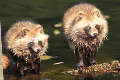 tanuki,science,raccoons,funny,fun facts