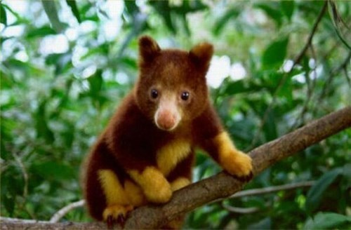 strange cute tree kangaroos kangaroos - 8063108096