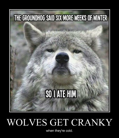 wolves cranky winter funny animals