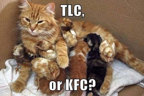 chicken kfc Cats funny - 8065074432