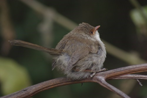 birds Fluffy cute rest