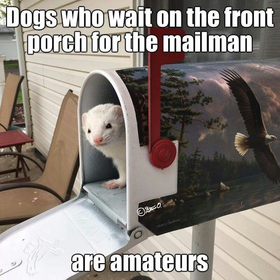 ferret funny memes Memes animal memes - 8067845