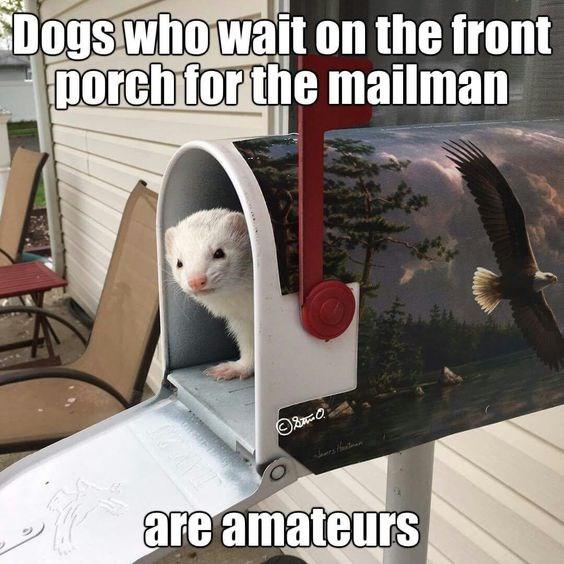 cute ferrets memes