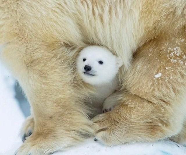 tiny polar bear baby peeking out from its parent's fur