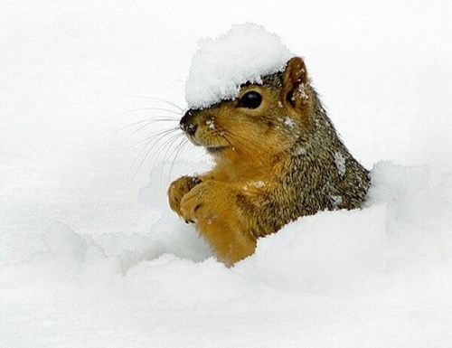cute,burrowing,snow,squirrels