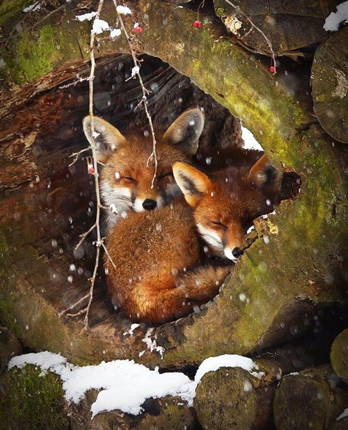 foxes cute den warm