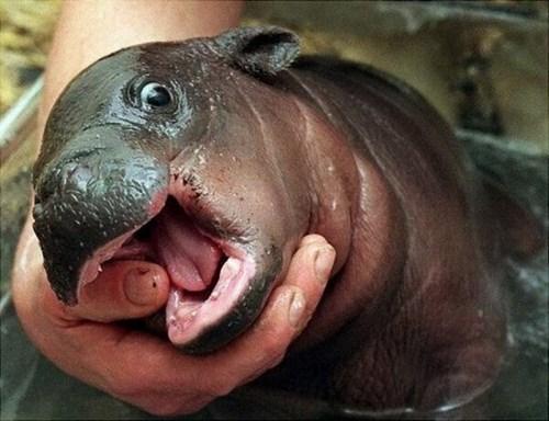 Babies hippos tiny cute - 8072160768