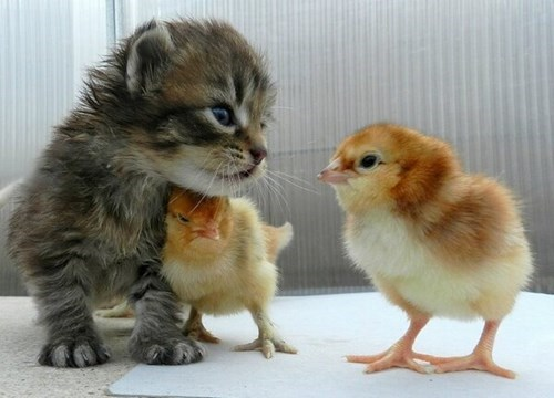 bully,kitten,chicks,friends,cute,Cats