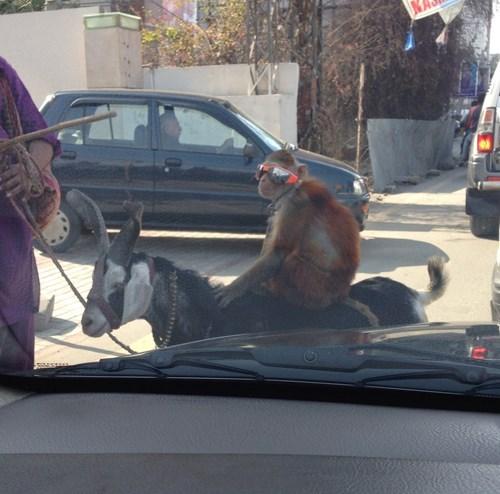 sunglasses poorly dressed monkey - 8074598656