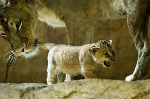 cute cubs lions mama - 8076512000