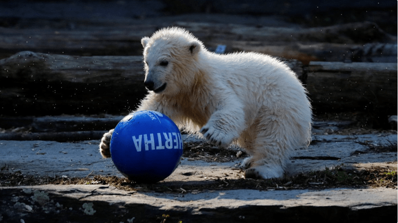 polar bear zoo berlin soccer - 8077061