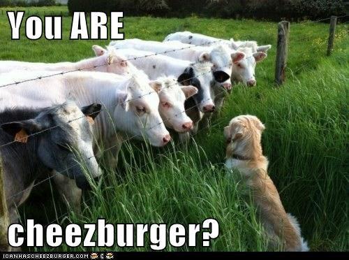 cheeseburger cows - 8077142528
