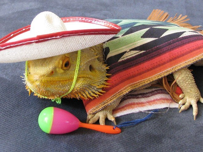 pet bearded dragons in costumes