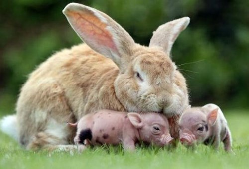 cute,Fluffy,rabbits,piglets