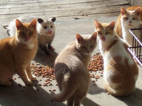Cats,food,possums,sneaky,noms