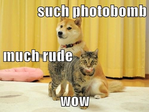 photobomb dogs doge Cats - 8081359616