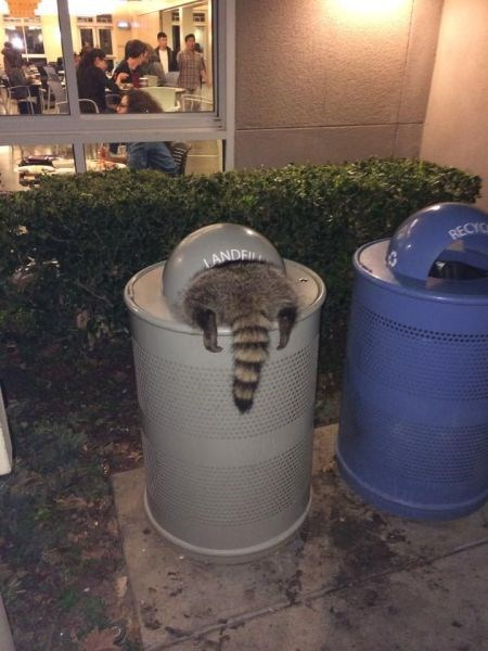 garbage funny raccoons noms - 8082234880