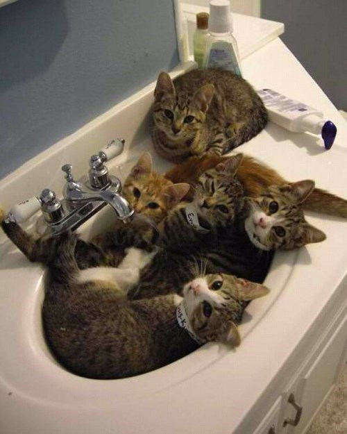 water sink Cats funny