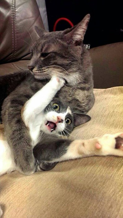 bully Cats funny wrestling - 8083931904