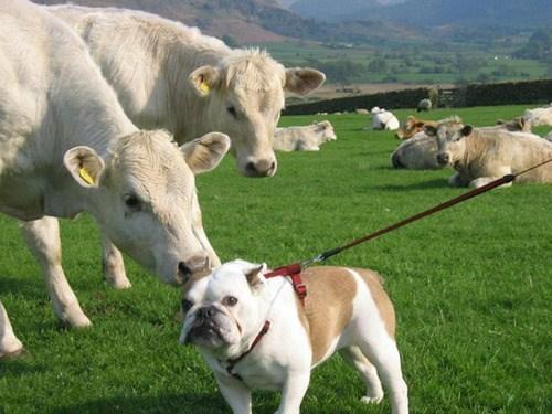 dogs,bulldog,misunderstanding,cows