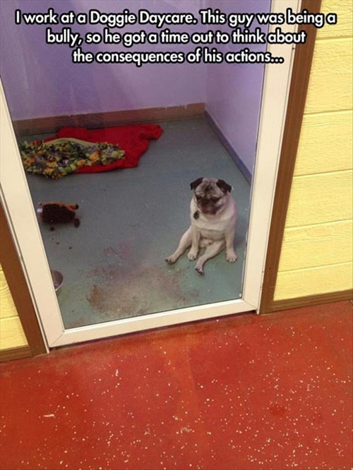 dogs,bully,cute,timeout,pugs