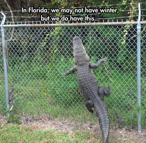 scary alligator snow florida winter - 8085438976