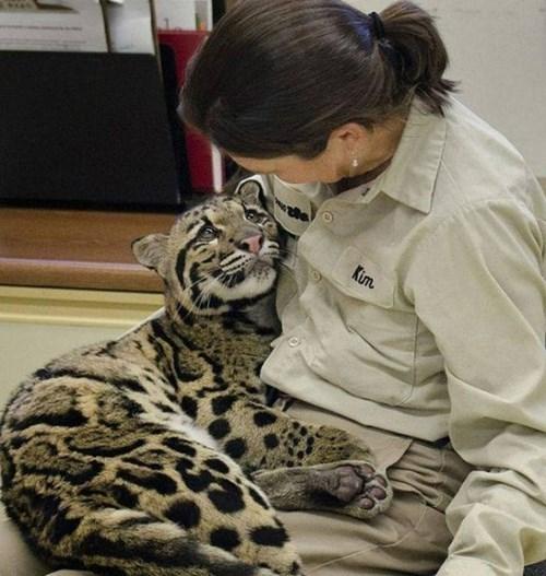 zoo cute big cats - 8085580544