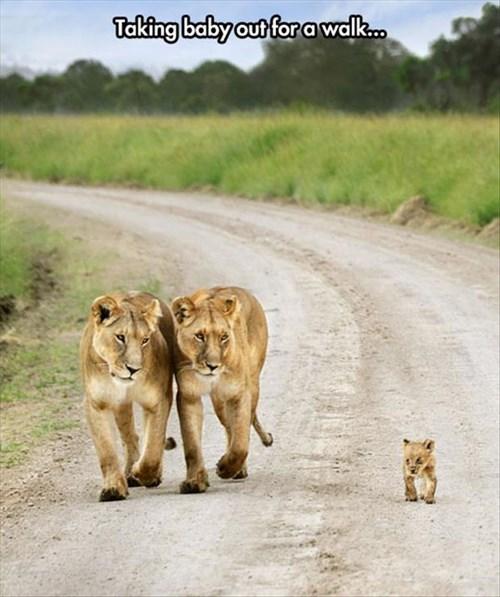 lions Babies cute cubs - 8086849280