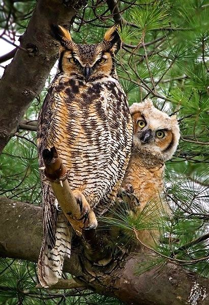 birds,owls,protect,beautiful