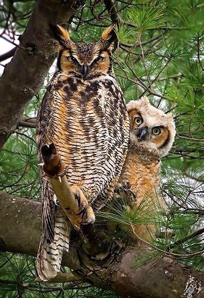 birds owls protect beautiful - 8087862784