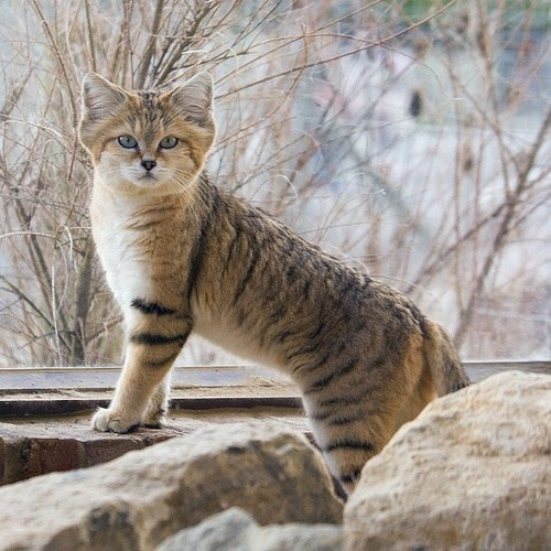 arabian sand cat cute big cats - 8087865088
