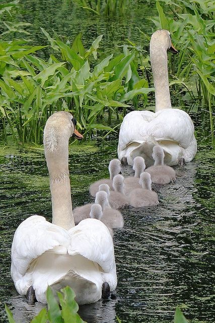 Babies cute swans family