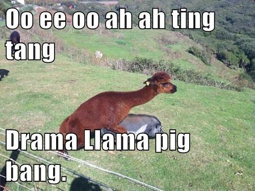 Oo ee oo ah ah ting tang  Drama Llama pig bang.