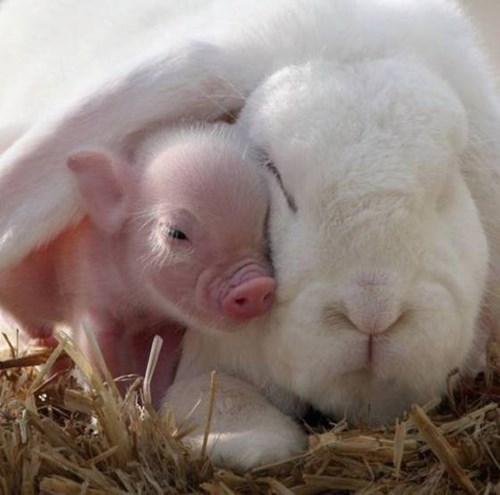 bunnies snuggle piglets cute love - 8089677824