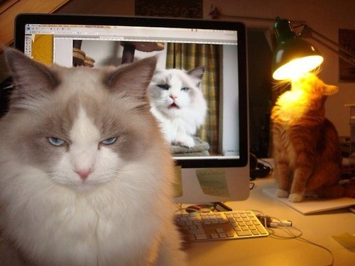 photoshop angry Cats