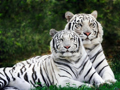 Regal White Tiger Couple