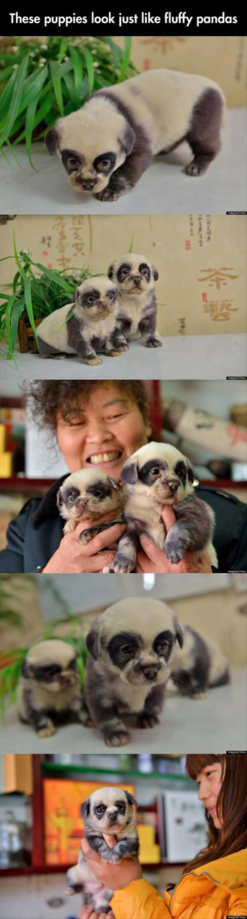 so cute,panda,puppies