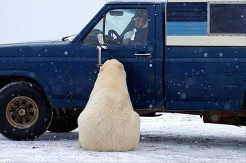 scary,snow,polar bear,stuck,funny